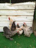 دجاج براهما منتج