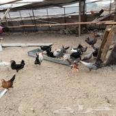 دجاج بلدي وفيومي وبلدي صك السود