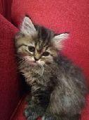 قطط شيرازي كيتنز 50 يوم