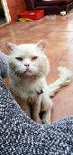 قط بيكي فيس مهجن