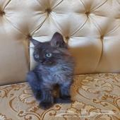 قطط للتبني (تم التبني)