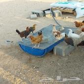دجاج بلدي عمر ثلاث شهور