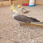 طيور الكروان انواع مختلفه بي اعمار مختلفه