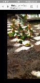 طيور زينة