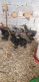 دجاج براهما عمر 3 شهور
