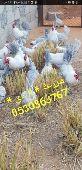 دجاج المنيوم بيض مخصب