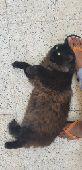 الدمام -   قطة شيرازي كثيف