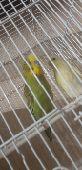 عصافير بادجي للبيع