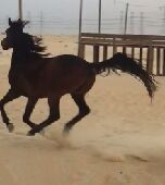 للبيع حصان شعبي