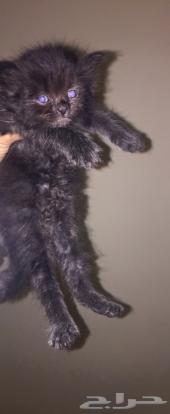 قط كيتن للبيع هملايا انتاج نظيف