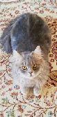 قط هجين (سكوتش_هملايا)