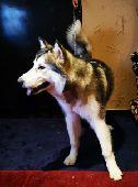 كلب انث مالميوت كلاب مالموت