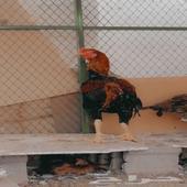 ديك يباني شامو ودجاجه بولدها