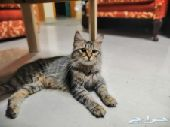 قطه منتجة شيرازي تايجر و 2 كيتنز ذكور
