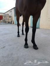حصان - مهر - انجليزي باوراقه وجوازه أخضر من ا