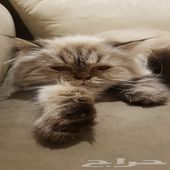 قطة هملايا انثى للبيع