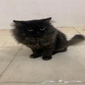 قطط - قطين الاسود ذكر نوعه