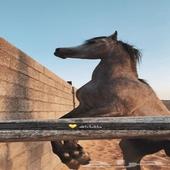 حصان واهو مكس شيخ ولد الريح الثالث