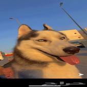 كلب هاسكي ذكر