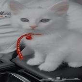 قط شيرازي ( منزلي )