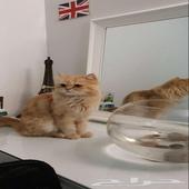 قط شيرازي بني