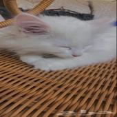 3 قطط للبيع