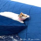 قطه شيرازي امريكي