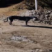كلب سلوقي للبيع للصيد او الحراسه