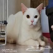 قطط شيرازي أمريكي
