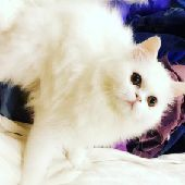 قطه شيرازيه للبيع في الرياض