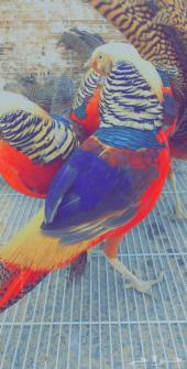 فزن - طير الفزن الفرعوني