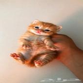 قطط للبيع نوع القط الصغير شيرازي ذكر العمر 3 اسابيع