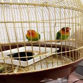 طيور (فيشر   بادجي)