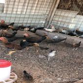 دجاج مشكل فيومي وبلدي