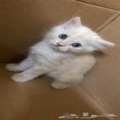 قط شيرازيي للبيع