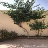 اشجار ضل اشجار زينه
