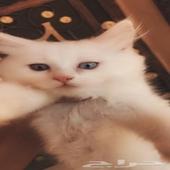 للبيع قطط بيضاء صغيره