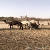 حشوان العمر 7 شهور المرقع بيشه