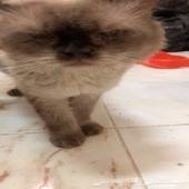 تزاوج قطط( همالاي شوكلت)
