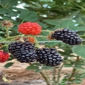 شتلات توت بر ي أسود (بلاكبيري ) من مزرعتنا