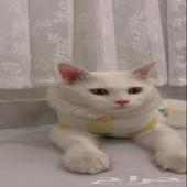 قط الجنس ذكر النوع شيرازي