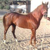 للبيع حصان عربي جميل لاعلي سومه