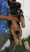 جراوة جيرمن شيبرد German Shepherd  (تم البيع)