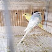 طيور الحب البادجي الشرقيه