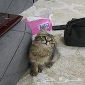 قطة صغيرة كتن شيرازي امريكي انثى