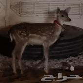 غزال بري مغربي