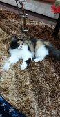 قطه كاليكو جميله ملونه شيرازي من ام بيرشن