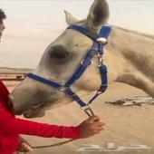 حصان شيخ للبيع (واهو والبيع شعبي)