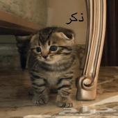 كيتنز - قطط صغيرة للبيع - سكوتش فولد Kitten
