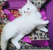قطة شيرازى أنثي 40 يوم